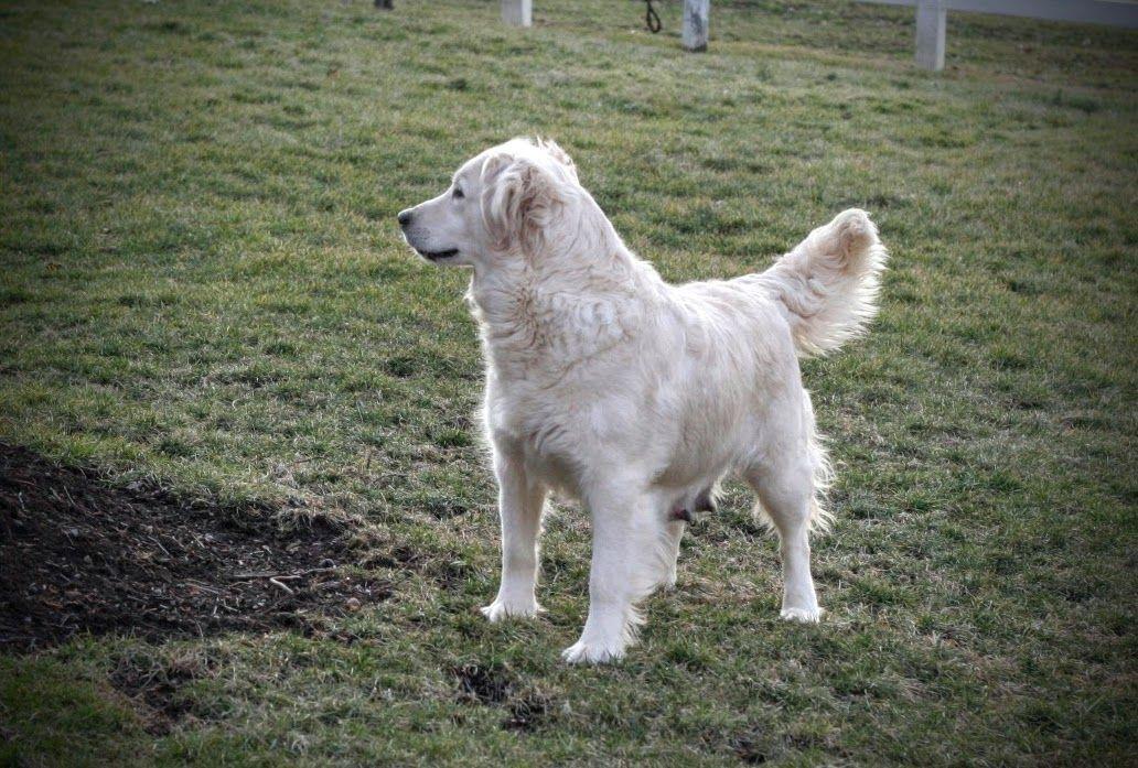Cute golden retriever puppies in ohio retriever puppy