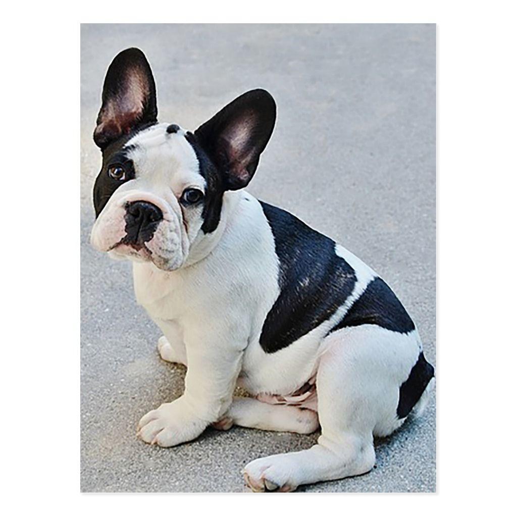 French bulldog puppy dog post card white french bulldog