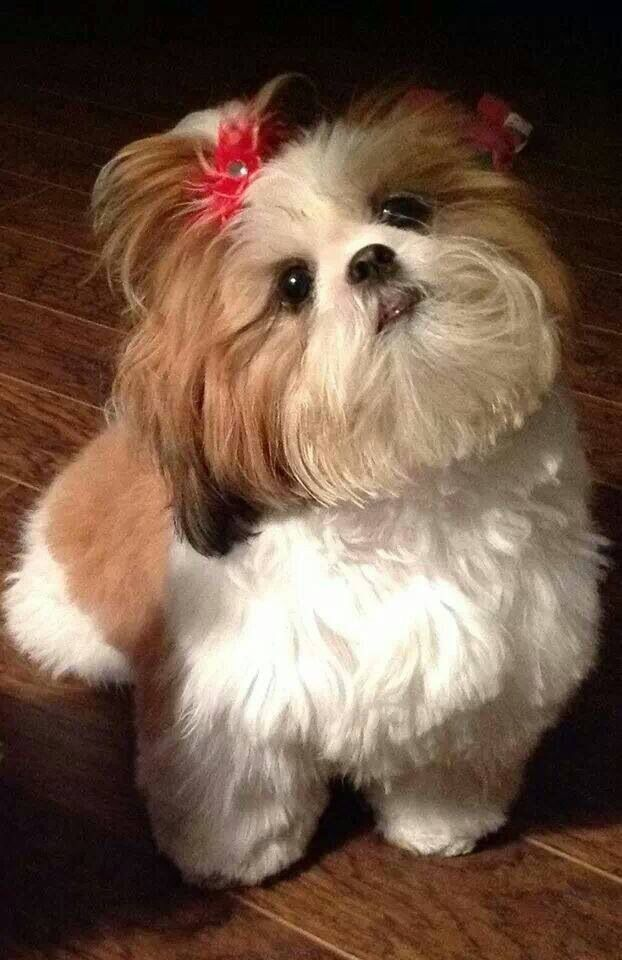 Female Shih Tzu Showing Off Her Pony Tail Shih Tzu Dogs