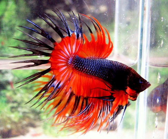 Dark red betta fish - photo#29