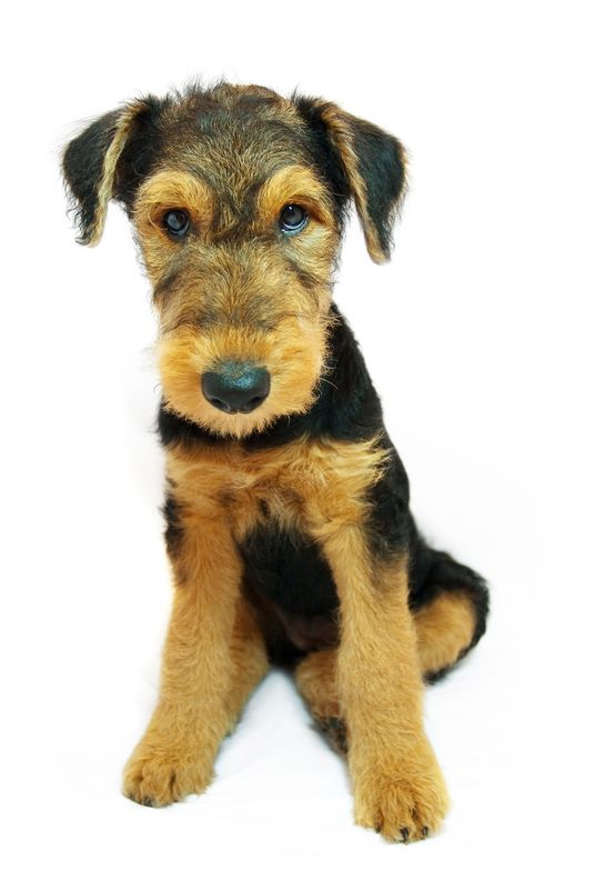 Airedale Terrier by Olga Martschitsch, via 500px Terrier