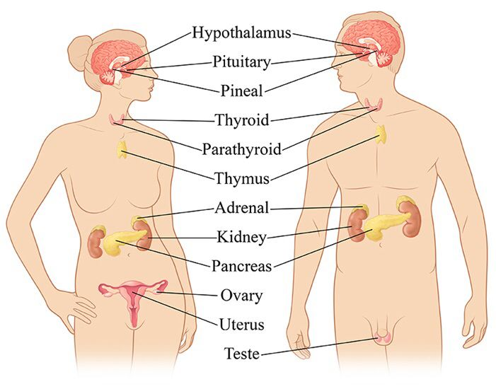 Endocrine System In This Photo Kidney Uterus Dont Belong To