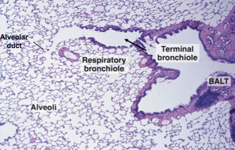 Pulmonary Histology - Internal Medicine Cardio with Fontana at ... | Respiratory system ...