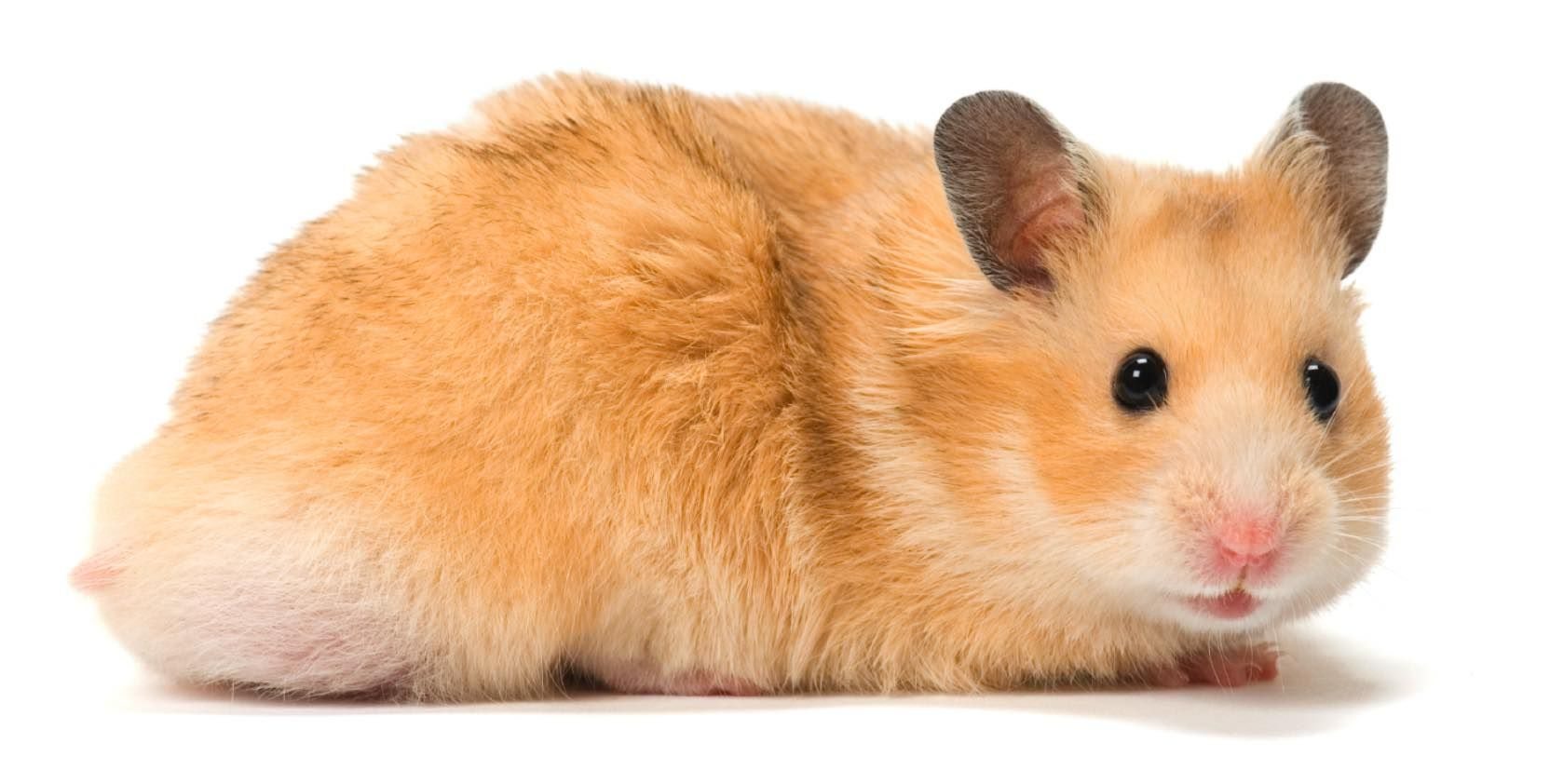 Information About Winter White Dwarf Hamster Care And Facts Syrian Hamster Bear Hamster Hamster Breeds