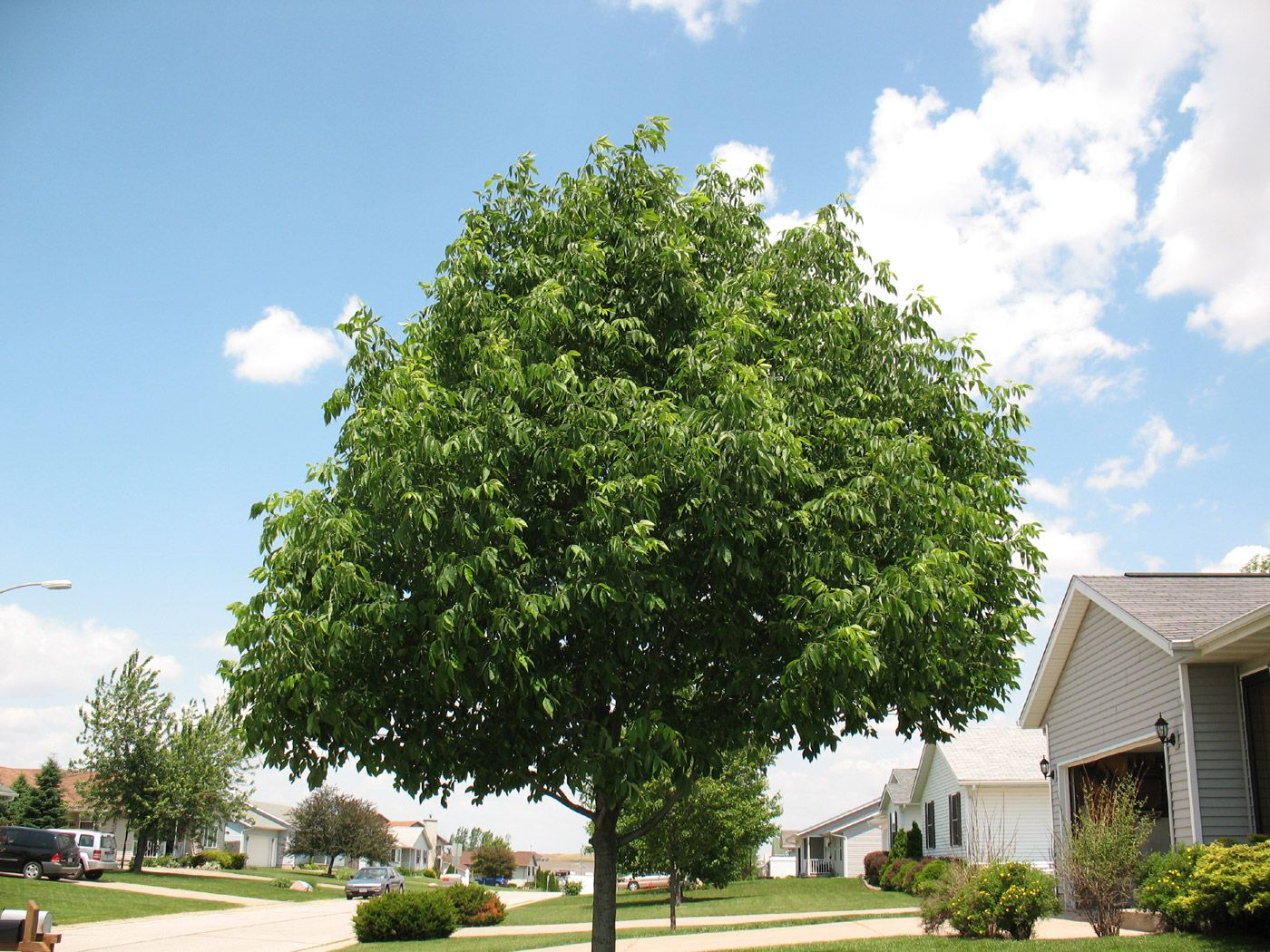 Ash Trees Facts