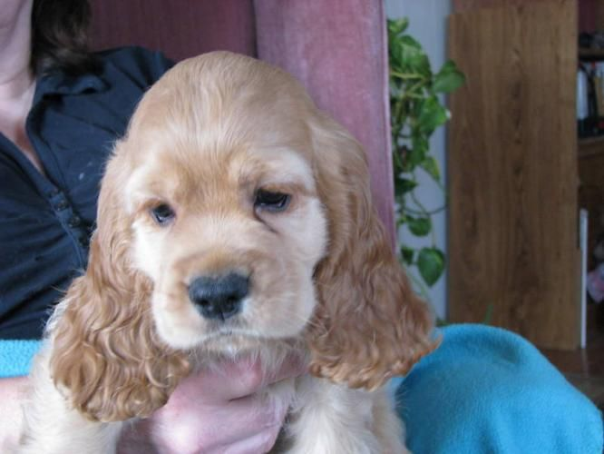 Cocker Spaniel Puppies For Sale American Cocker Spaniel Puppies New Pictures Special Offer For Sale With Images Cocker Spaniel Puppies