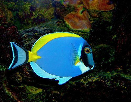 Powder Blue Surgeonfish In 2020 Beautiful Fish Jewel Of The Seas Saltwater Tank