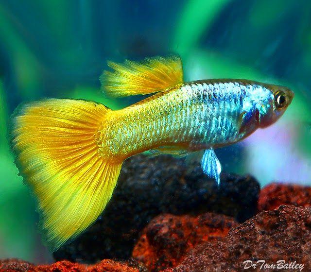 Guppy Alternatif Budidaya Ikan Hias Lahan Sempit Kompasiana Com Ikan Tropis Ikan Ikan Akuarium