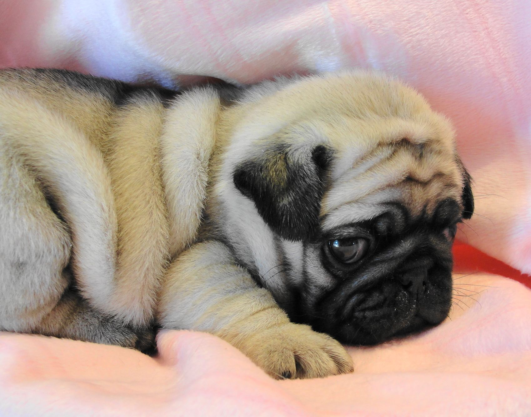 Pug Wallpaper Screensaver Background Cute Pug Puppy Baby Pugs