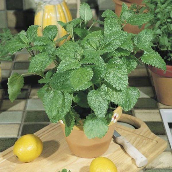 12 Best Herbs To Grow Indoors Herbs Indoors Growing 400 x 300