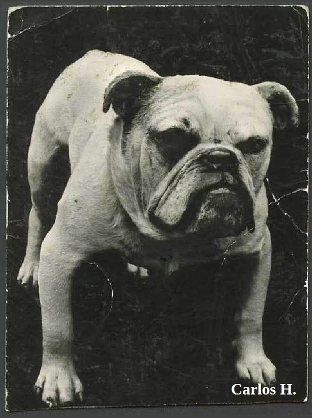 Bulldog Museo Britanico Londres 1890 1900 Coleccion C H British Bulldog Bulldog French Bulldog