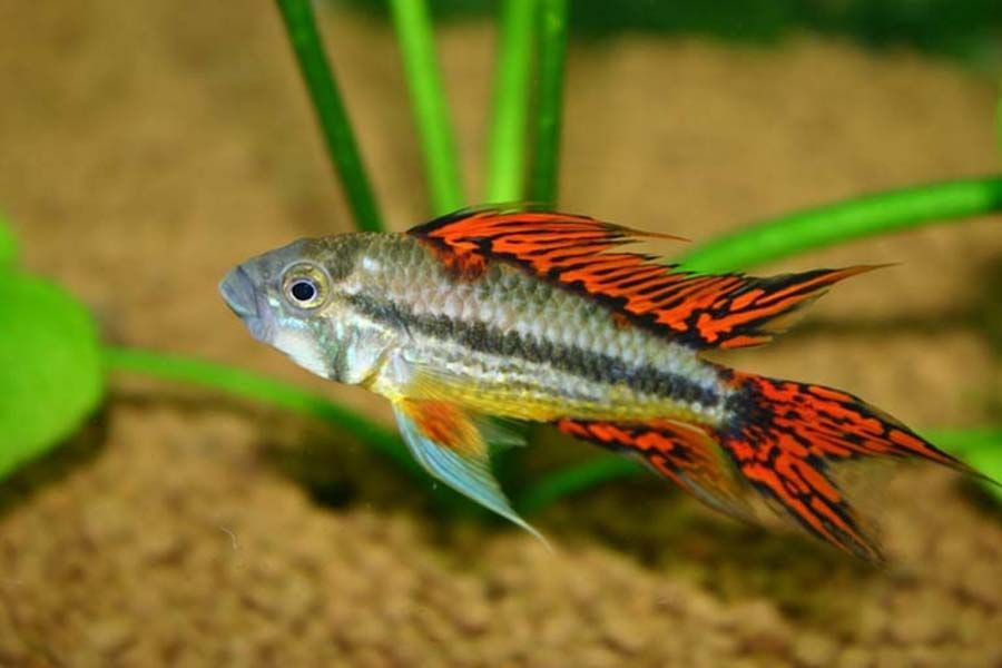Buy Apistograma Cacatuoides Double Red World Wide Fish And Pets Cichlids Tropical Fish Aquarium Cockatoo