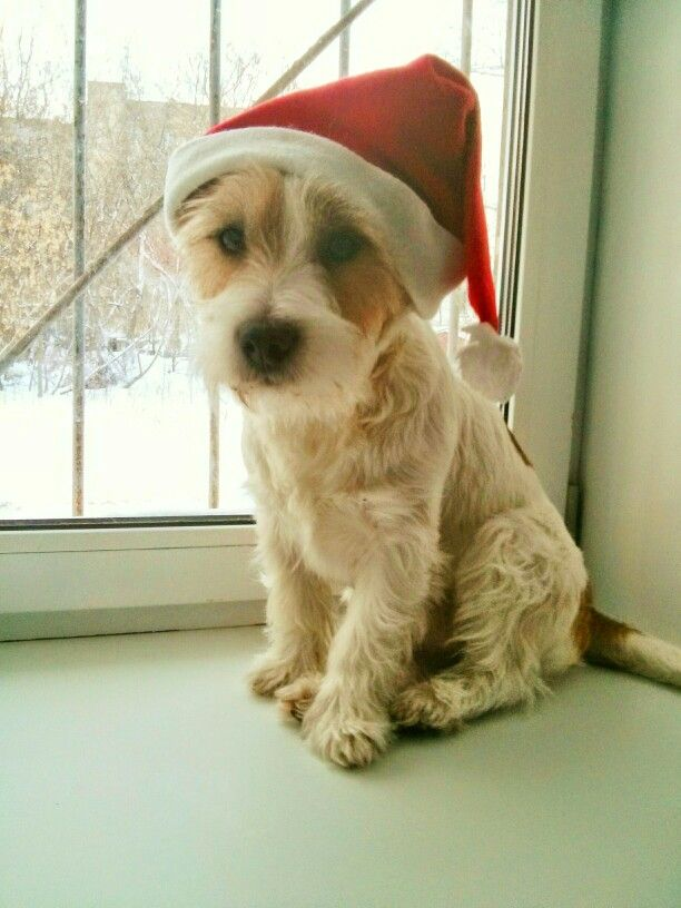 Jack Russell Terrier Long Hair Dog Christmas Jack Russell