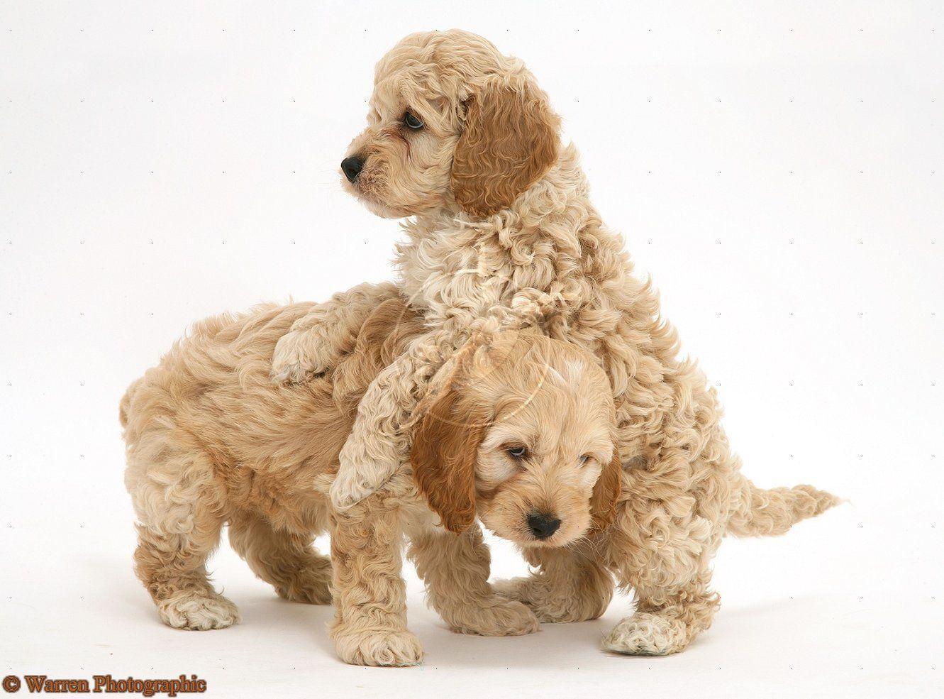 Cockapoo's Cockapoo puppies, Puppies, Yorkshire terrier