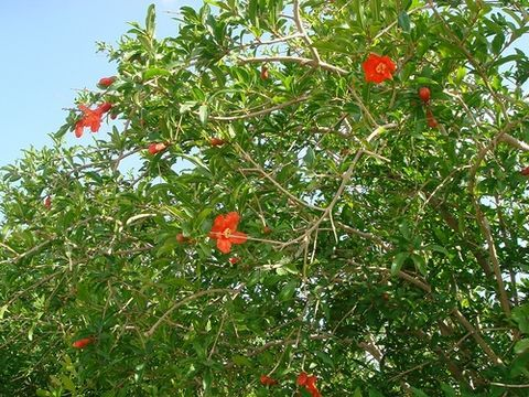 How To Prune Pomegranate Trees Pomegranates Pomegranate Fruit