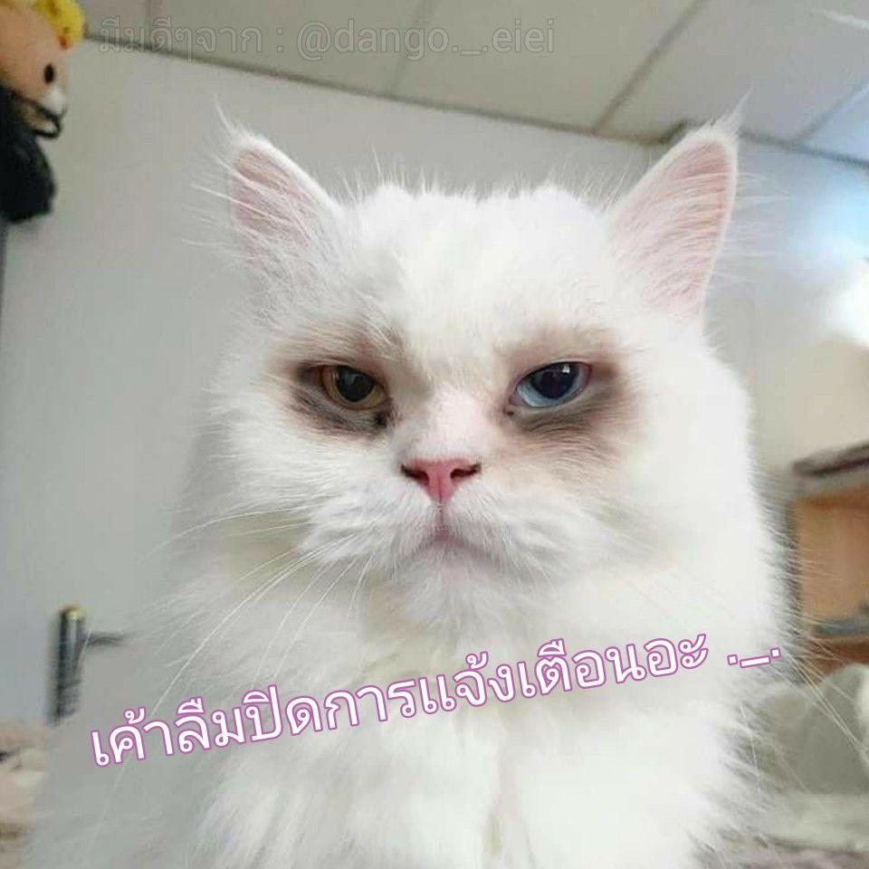 ย งไม ได นอน แมวตลก ภาพ