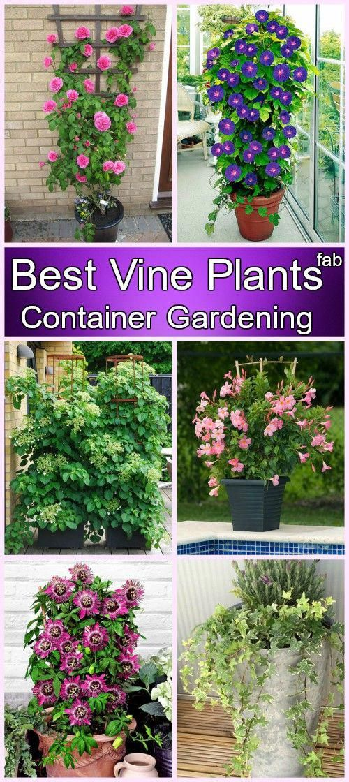 20 More Best Vine Plants for Container Gardening Patio