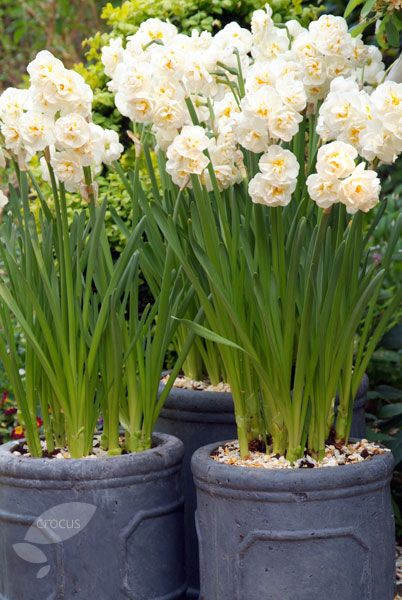 a14b20fc2cfff5 Buy double daffodil bulbs Narcissus 'Bridal Crown': Delivery by Crocus  Daffodil Bulbs,