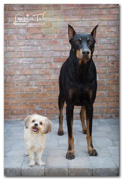 Harley Ava Doberman Guard Dogs Dogs