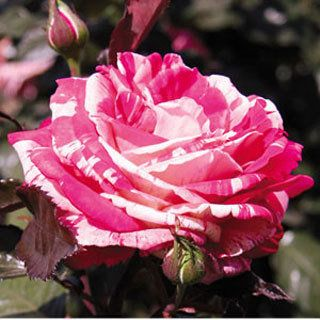 Raspberry swirl hybrid tea rose
