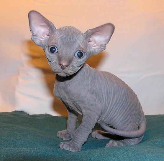 Pin By Ann Stewart Baker On Sphynx All Day Fluffy Cat Breeds Hairless Cat Cat Breeds