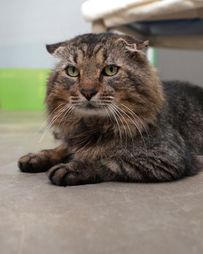 Adopt Oliver On Petfinder Cats Cats And Kittens Animals