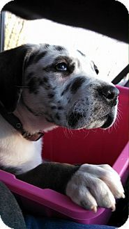 Adopted Pennsylvania Labrador Retriever Great Dane Mix Meet