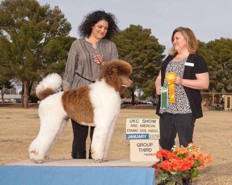 Desert Oasis Kennels Az American Eskimo Dog Poodle Puppy