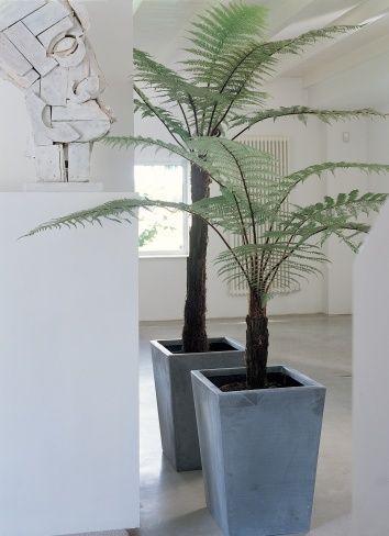 Der Baumfarn ist ideal für kühle Räume geeignet #farn #tree #pflanzenfreude #pflanze