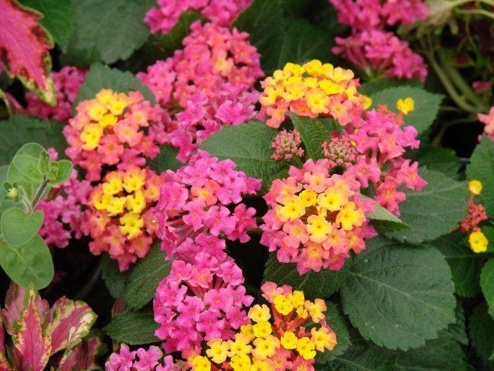 100 Lantana Anne Marie Live Plants Plugs Garden Patio Planters