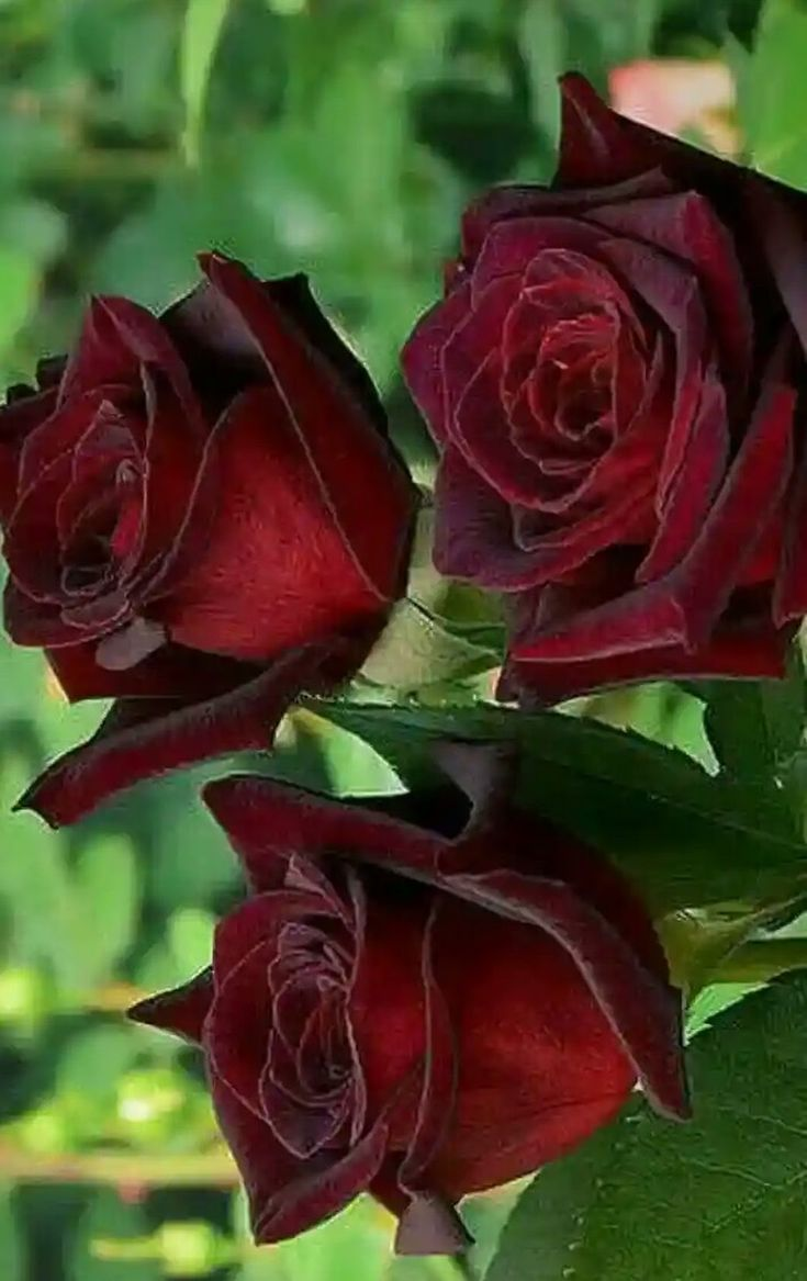 Flowers Pinterest Flowers Beautiful Roses And