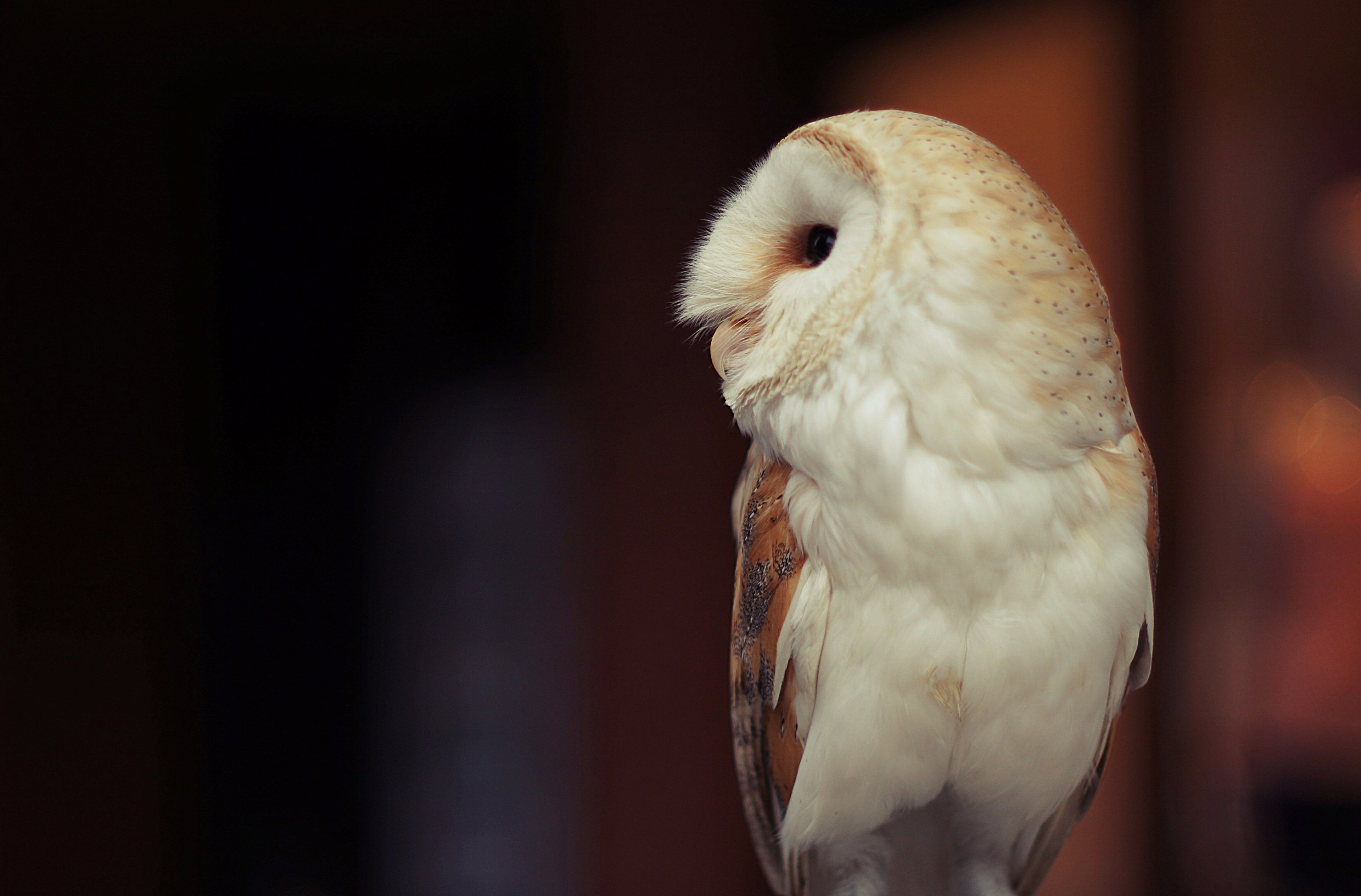 3840x2529 owl 4k download hd wallpaper for pc Owl