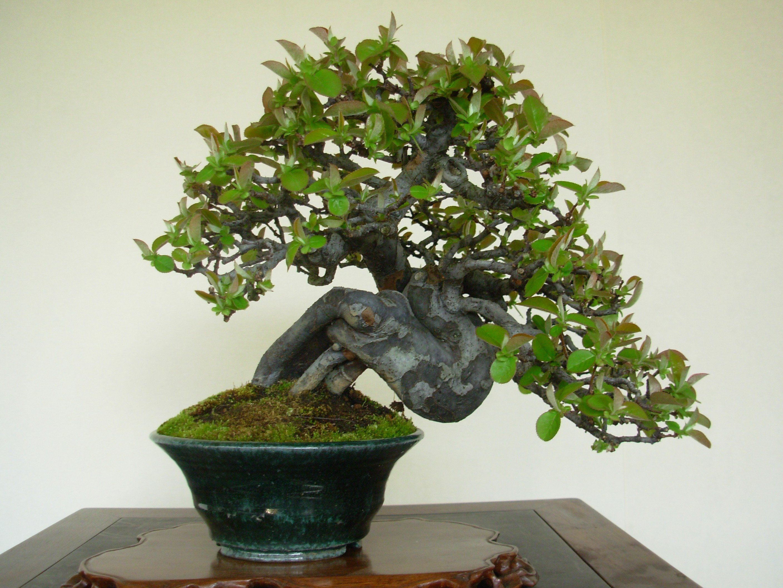 Bonsai Baum Pflege Standort Bonsai Pflege Pflegeanleitung