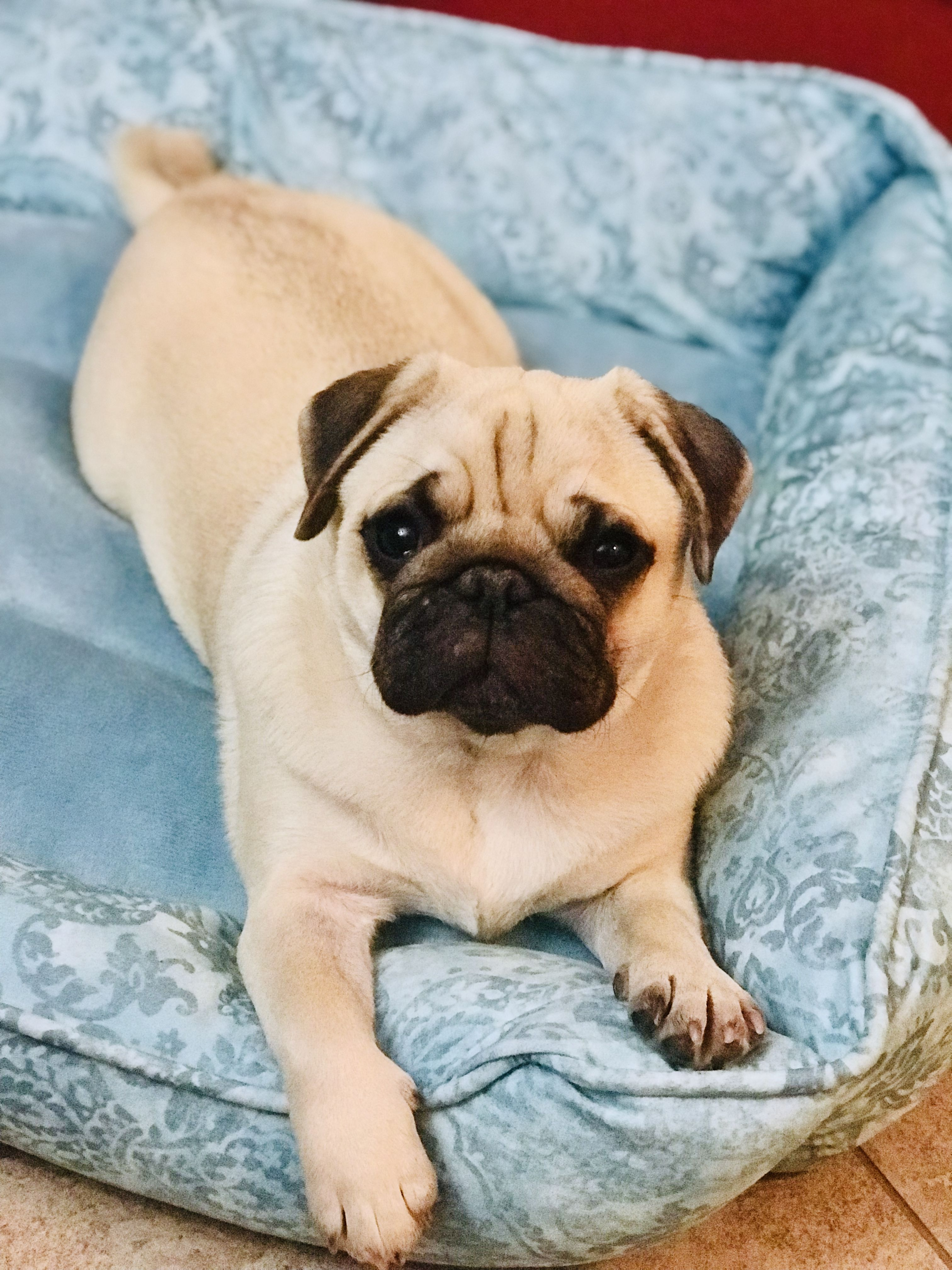 Beautiful Fawn Pug Muffy Magnolia Tx Pug Puppies Cute Baby Animals Pugs Funny
