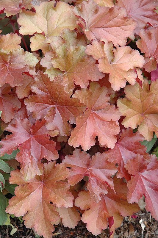 Click to view full-size photo of Mahogany Coral Bells (Heuchera 'Mahogany') at Landscape Garden Centers
