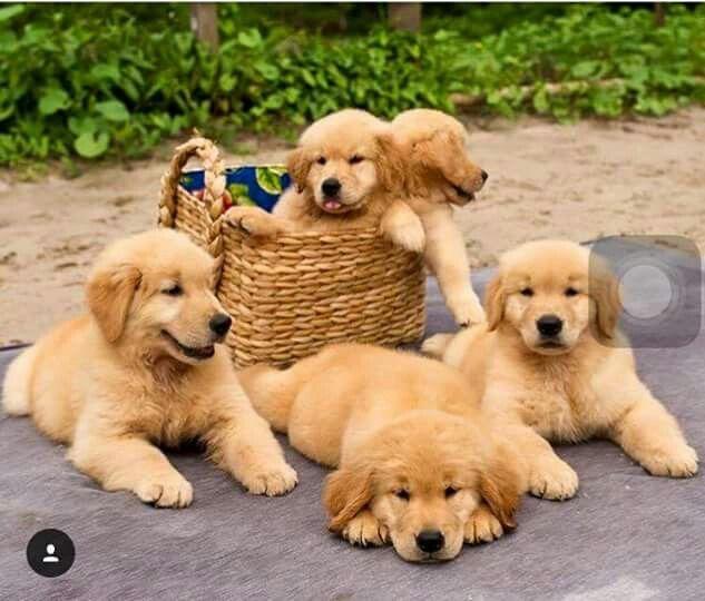 Golden Retriever Family Cute Dogs Cute Puppies Pets