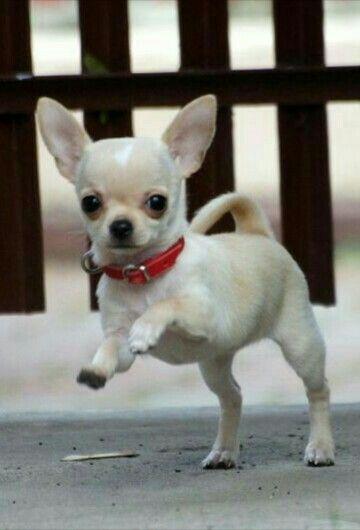 Very Cute Chiuahua Chihuahua Chihuahua Dogs