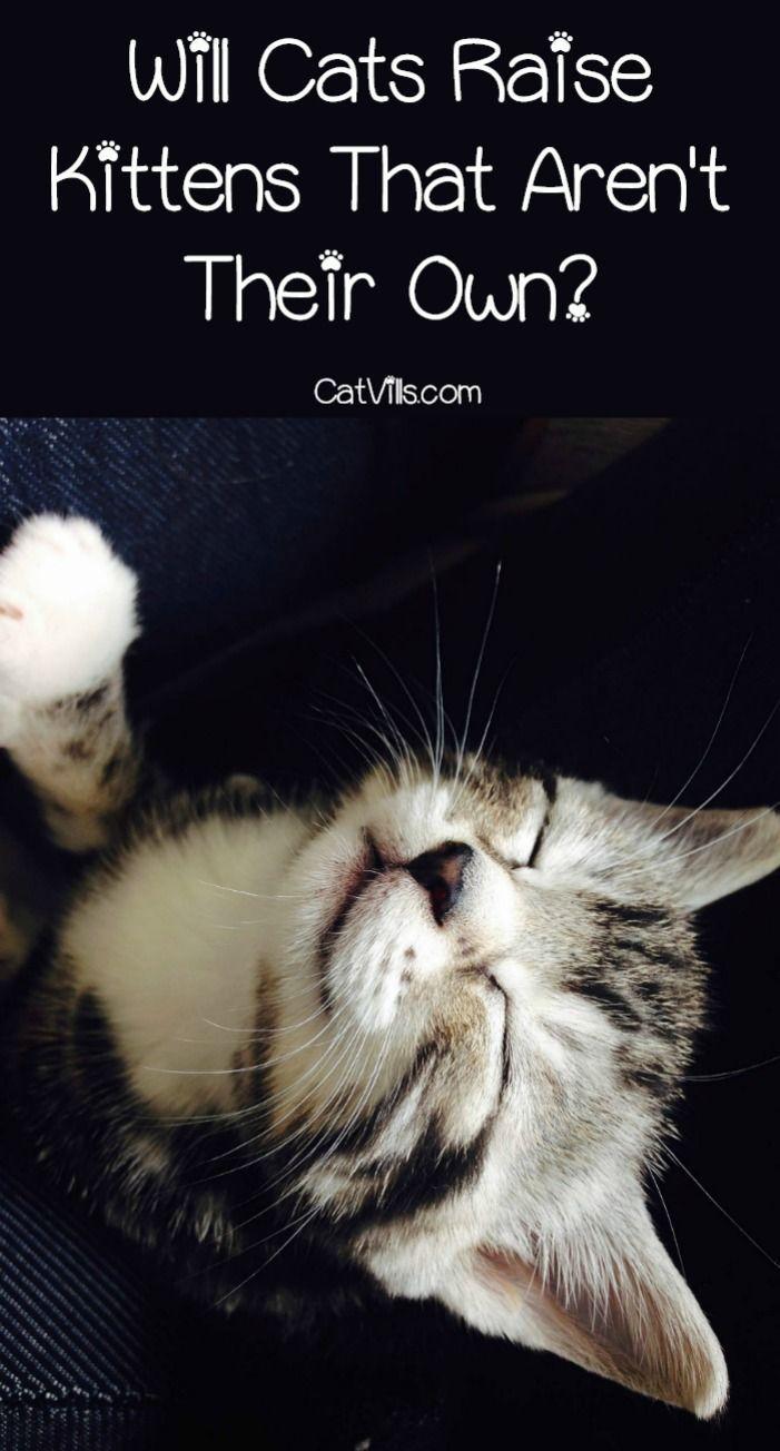 Will Your Cat Raise Kittens That Aren T Her Own Catvills Cats Kittens Cat Training