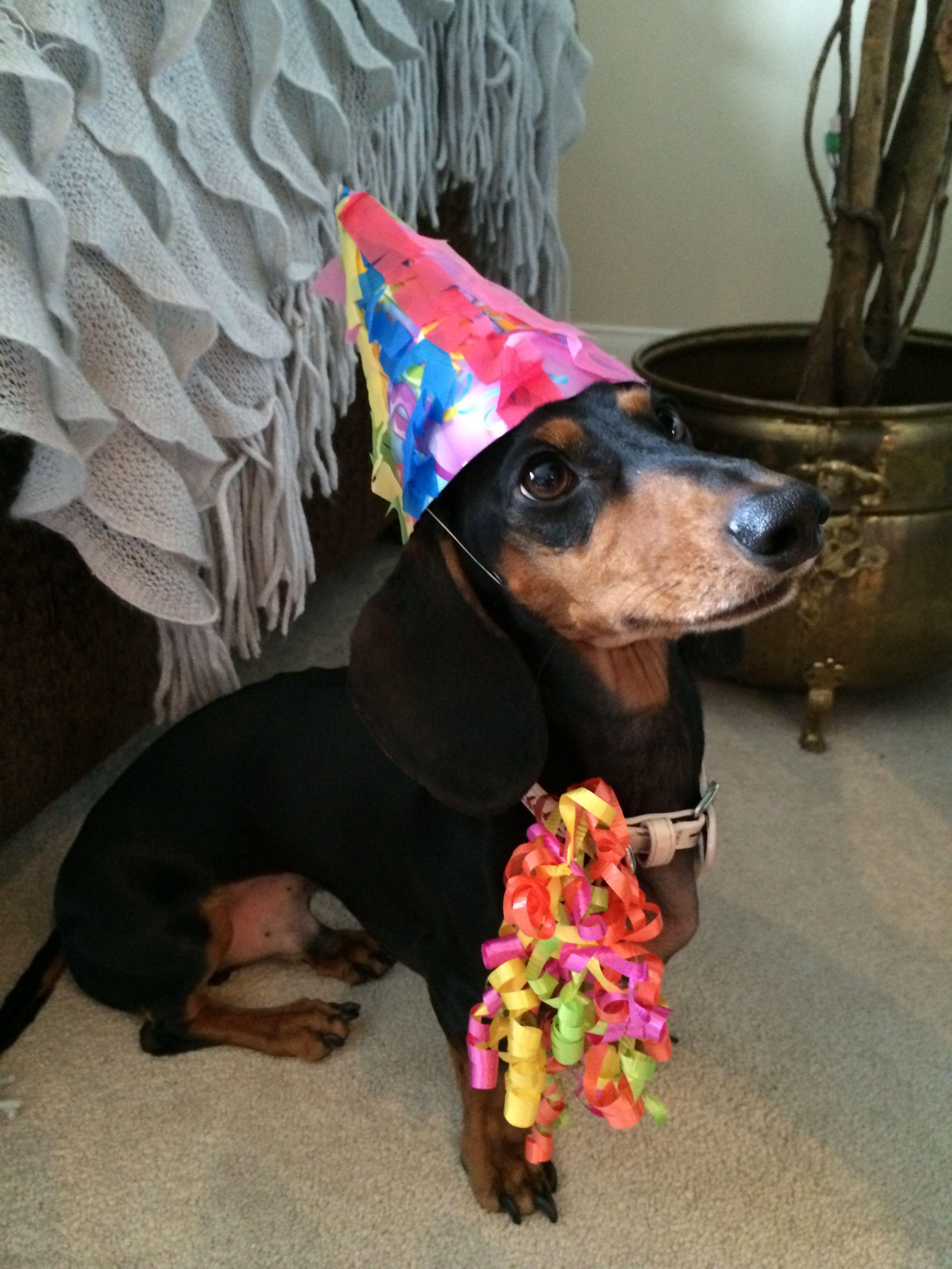Cute dachshund ready to party weenie dogs weiner dog