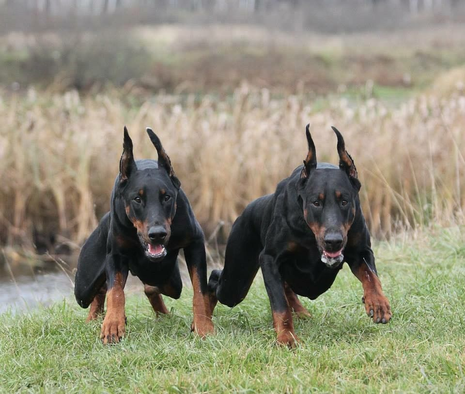 Actually Somebody Probable Yelled Cookies Doberman Pinscher