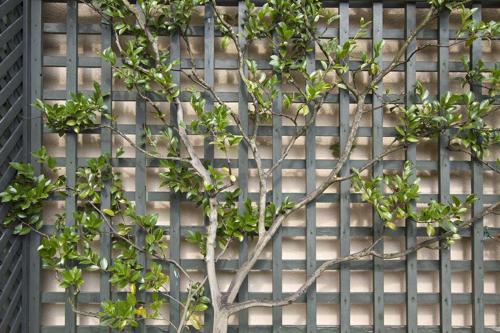 Learning The Art Of Espalier Gardening Climbing Plants Trellis Rooftop Garden