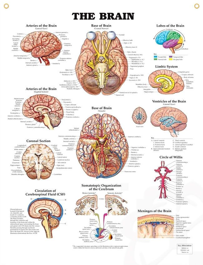 Brain Anatomy Poster Human Anatomy Poster Shows Cranial Nerves And