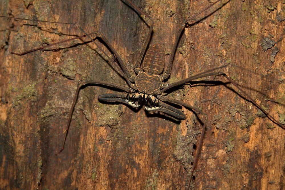 Whip Spiders (Amblypygi)   Spider, Brazil amazon ... - photo#28