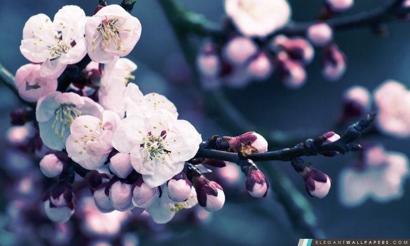 Gros Plan De Fleurs De Cerisier Fleur De Cerisier Papier Peint A Fleurs Sakura