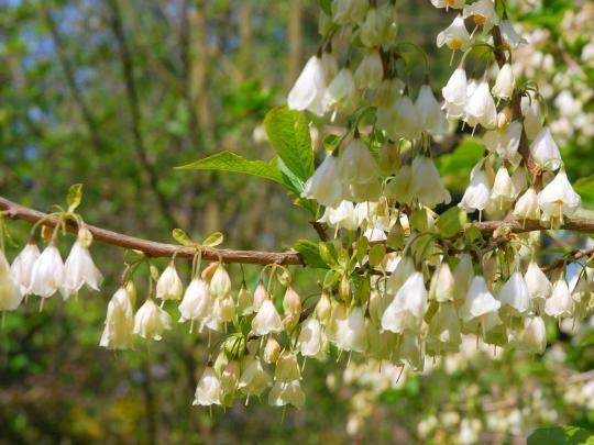 Halesia Monticola Var Vestita Snowdrop Tree A Delightful Small