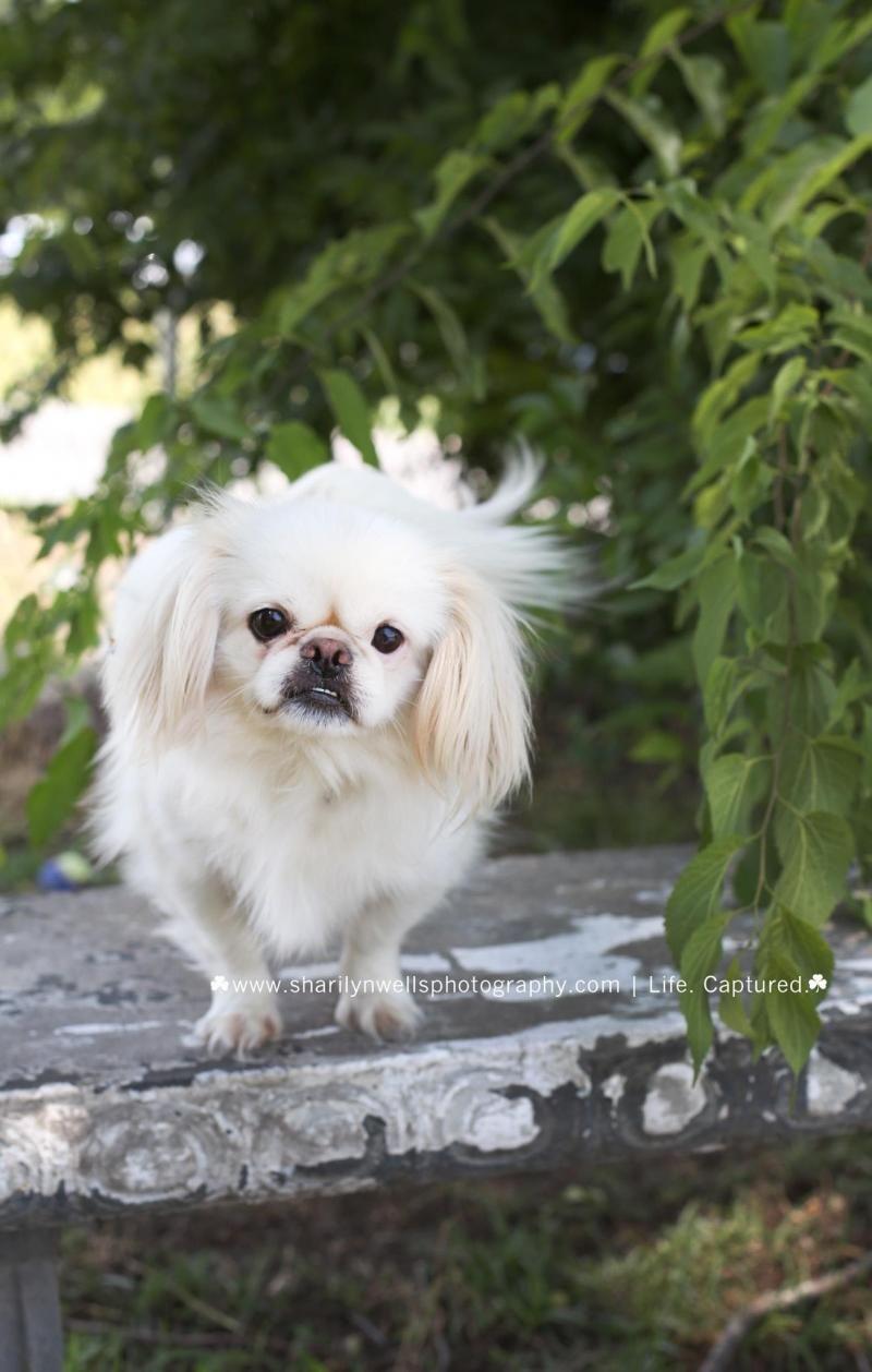 Adopt Sophie on Pekingese dogs, Pekingese, Foster to adopt