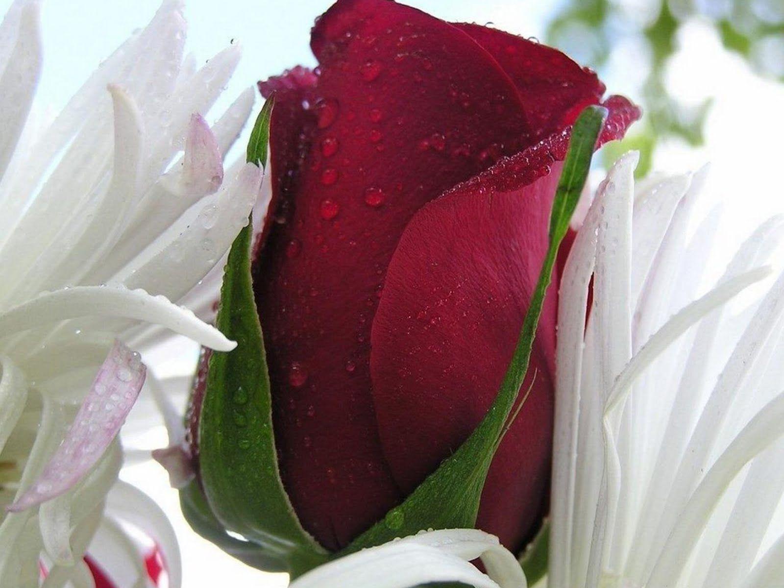 Beautiful Single Roses Rose Single Red Rose Bud Beautiful Flowers