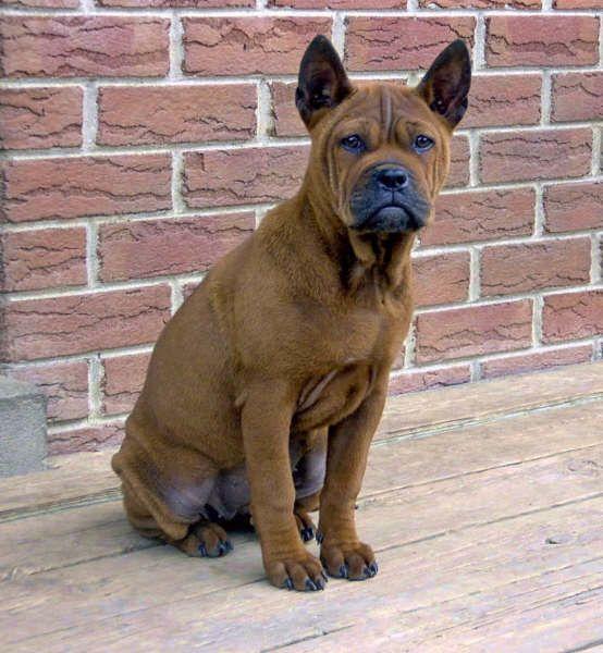 """Rare"" dog breeds | Dogs I Like | Pinterest | Rare dog ..."