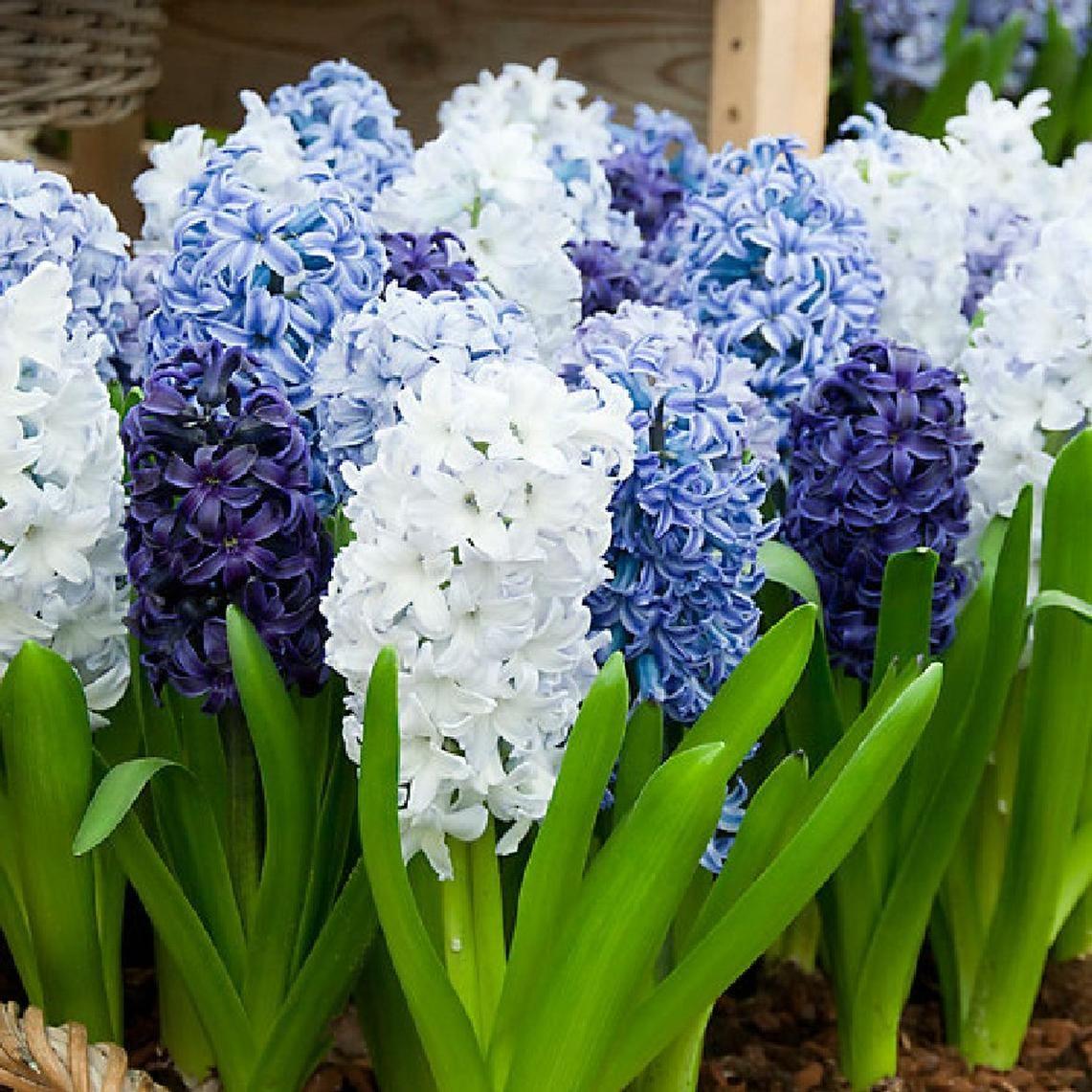 Blue Mix Hyacinth Bulbs Buy Bulk Hyacinth Bulbs At Edenbrothers Com Bulb Flowers Fall Bulbs Hyacinth Plant