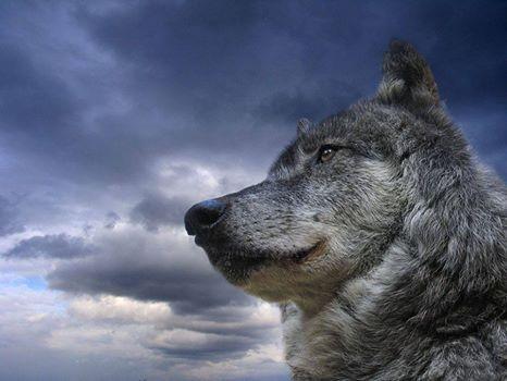 O SILÊNCIO DOS LOBOS  Pense em alguém que seja poderoso…  Essa pessoa briga e grita como uma galinha, ou olha e silencia, como um lobo?
